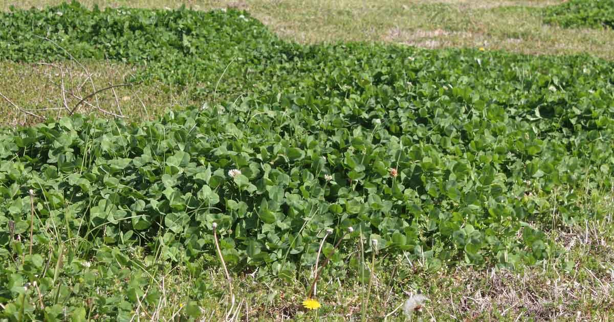 clovers in grass