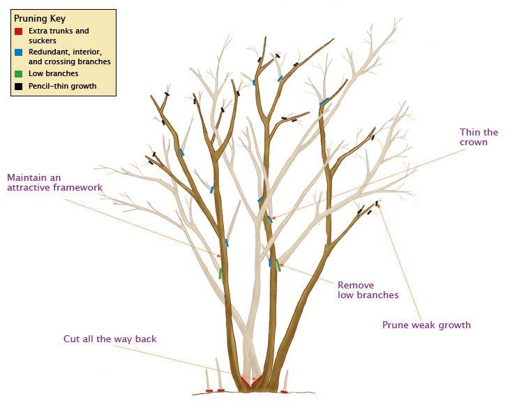 tips on pruning crepe myrtles