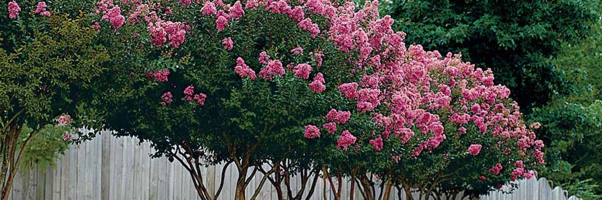 how to trim crepe myrtles